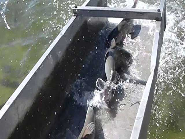 Fish stocking clearwater consulting for Fish stocking texas