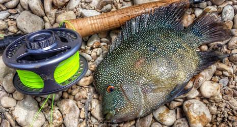 Freshwater Fish in Texas Rio Grande Cichlid